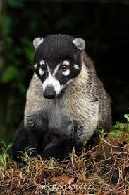 best 20 the raccoons ideas on pinterest raccoons raccoon