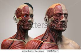 Female Muscles Anatomy Stock Images Royalty Free Images U0026 Vectors Shutterstock