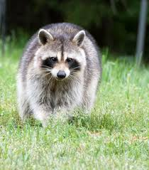 How To Get Rid Of Raccoons In Backyard Grub Season The Plague Of Raccoons Digging Up Your Lawn Explained