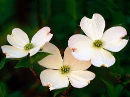 dogwood flowers dogwood flowers picture 37241 1600x1200 px hdwallsource