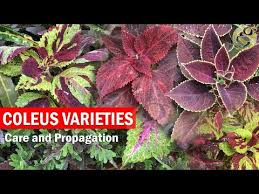 How To Grow Coleus Plants by Search Result Youtube Video Coleus Plant