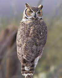great horned owls can be found at pancho villa state park which