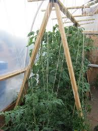 tomato trellis and garden update thiscrazygarden