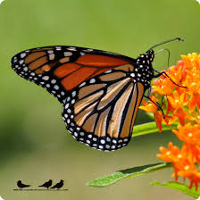 absorbent coaster side view orange monarch on butterfly