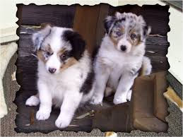 running with australian shepherd puppy puppies big run australian shepherds