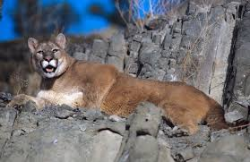 Wyoming wild animals images Wyoming biologist says mountain lions are watching open spaces jpg
