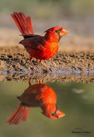 1221 best cardinal images on pinterest cardinal birds beautiful