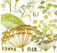 herb chart dill cumin fennel coriander spice herb chart plant flowers
