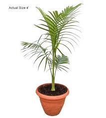 buy king palm tree archontophoenix alexandrae