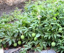 indiana native plants maypop edible plant project