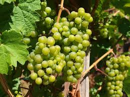 How To Grow Grapes In Your Backyard by Why Ontario Is Perfect For Growing Wine Niagara Wine Growing