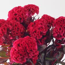 wholesale flowers miami buy celosia online wholesale flowers miami miami flower market