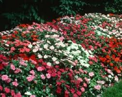 impatiens flowers impatiens dying disease 2013 the farmer s almanac