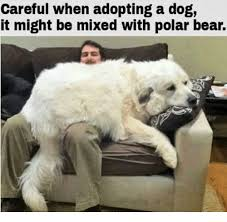 Polar Bear Meme - careful when adopting a dog it might be mixed with polar bear