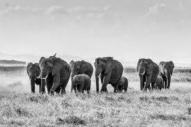 free photo african bush elephant elephant herd of elephants max