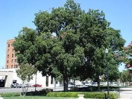 hickory trees for sale lowest prices save 80 buy grower