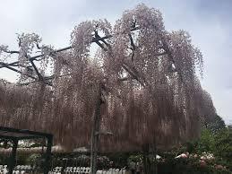 ashikaga flower park u2013 wabi sabi sole
