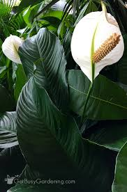Peace Lily Plant Peace Lily Plant Care Guide How To Grow A Peace Lily
