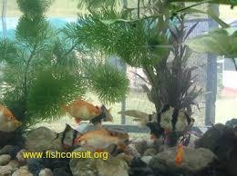 culture of ornamental fish in srilanka fish consulting