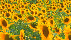 wedding backdrop hd 4k sunflower wreath wedding background flowers plants bloom