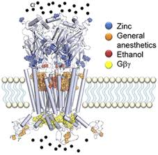 structure and pharmacologic modulation of inhibitory glycine