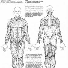 muscles of the body labeled human anatomy body