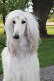 afghan hound pictures males u2013 winterberry afghan hounds