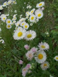 seneca snakeroot fleabane aster family wildflowers of kentucky pinterest