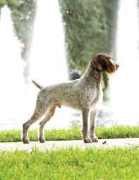 affenpinscher joey dog show 2012 10 28