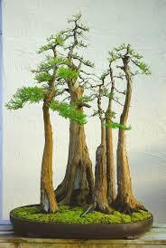 bonsai saule pleureur bald cypress бонсай pinterest cipreste árvores e arvores