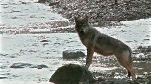 wolves fishing america the wild video nat geo wild