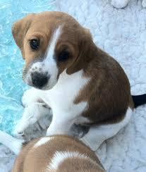 toy fox beagle beagle fox terrier mix info temperament pictures