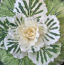 great design plant ornamental cabbage and kale