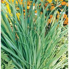 shop 1 5 gallon lemon grass l15398 at lowes