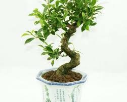 indoor trees low light low light bonsai awesome indoor tree plants low light and best