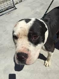 american pitbull terrier info best 20 bred pit ideas on pinterest american pitbull pit bull