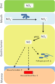biology of nitrogen oxides in the gastrointestinal tract gut