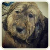 bearded collie brown gomer adopted dog east hartland ct bearded collie airedale