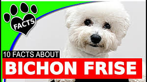 bichon frise breed standard 10 interesting bichon frise cutest dog breed facts dogs 101