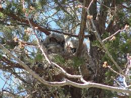 great horned owl nest mary richmond u0027s cape cod art and nature