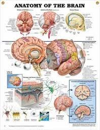 Sheep Brain Anatomy Game Heart Anatomy Games Brain Anatomy Games Cranial Nerves Frontal