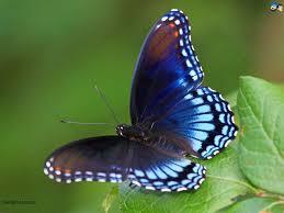 free download butterfly hd wallpaper 9