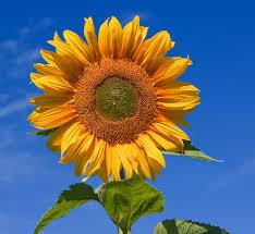 sunflower seeds facts nutrition health benefits u0026 seed analysis