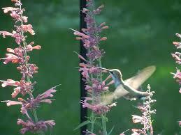 hummingbirds are pollinators perennial favorites