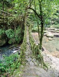 meghalaya living root bridges album on imgur