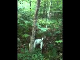 bluetick coonhound rabbit hunting bluetick coonhound hunting youtube