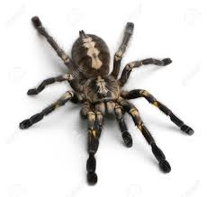 scary tarantula stock photos u0026 pictures royalty free scary