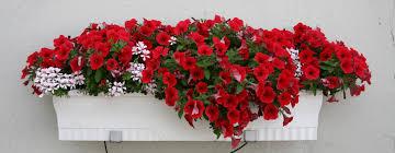 geranien balkon blütenpracht am fenster gartenblog