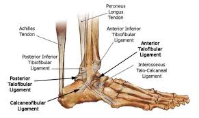 Talus Ligaments Anatomy Foot Ankle