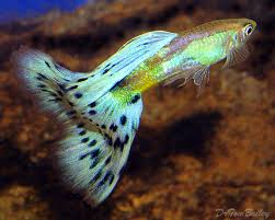 Buy Ornamental Fish Guppy Fish Types Of Guppies Species Colour And Patterns